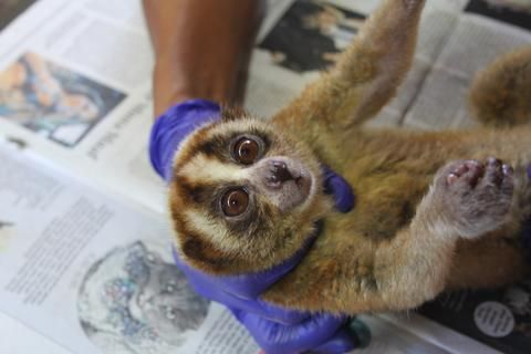 A critically endangered slow loris. Nine Javan slow lorises were recently rescued from an illegal trade in Indonesia.