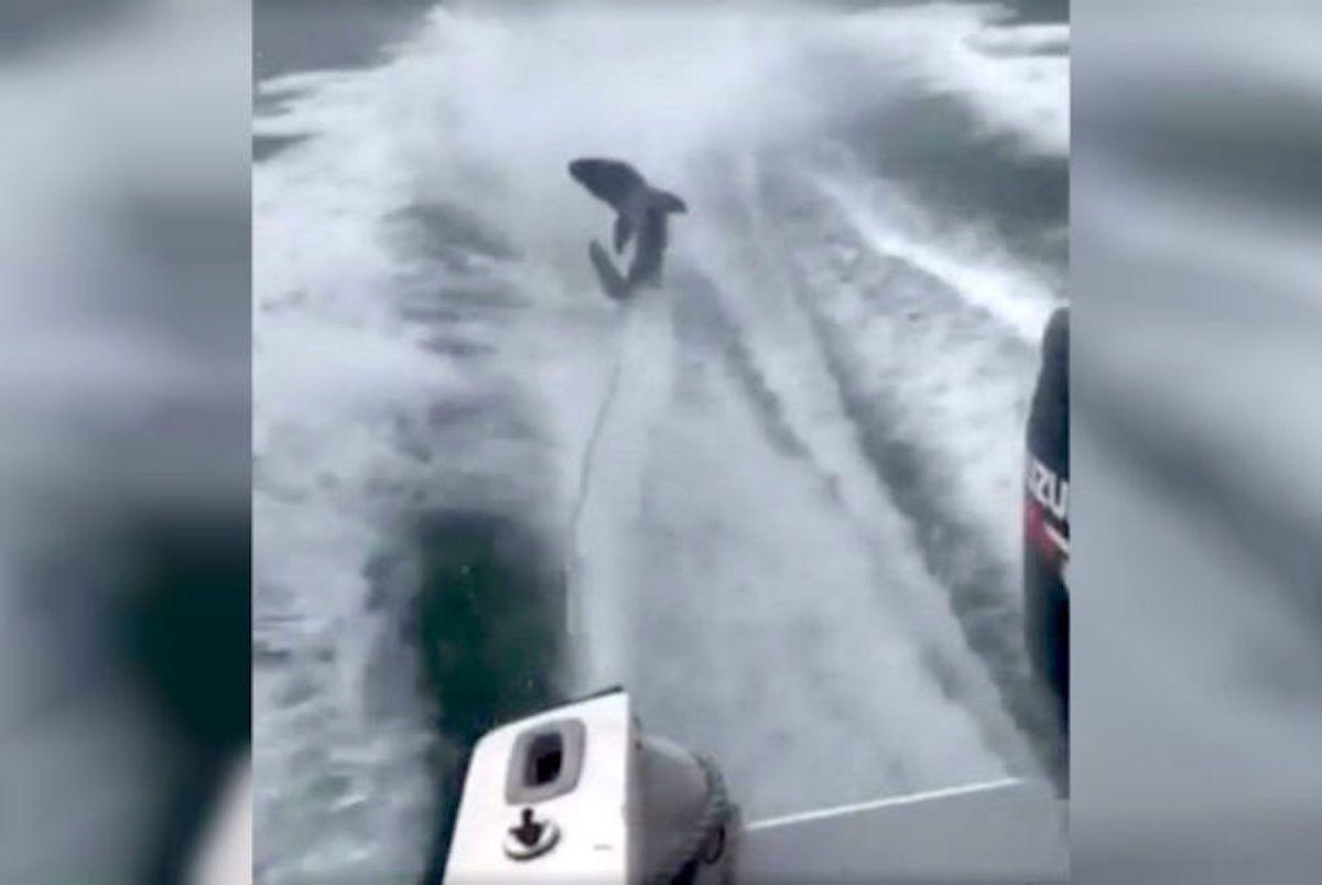 shark dragged behind speedboat