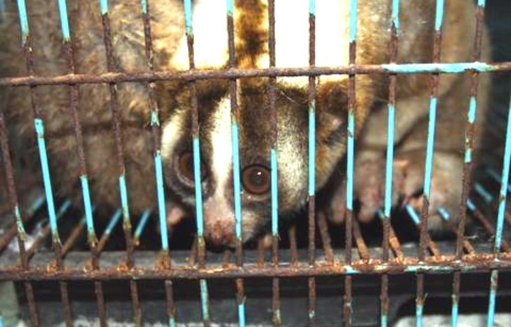Nine Slow Lorises Rescued from Illegal Wildlife Traders