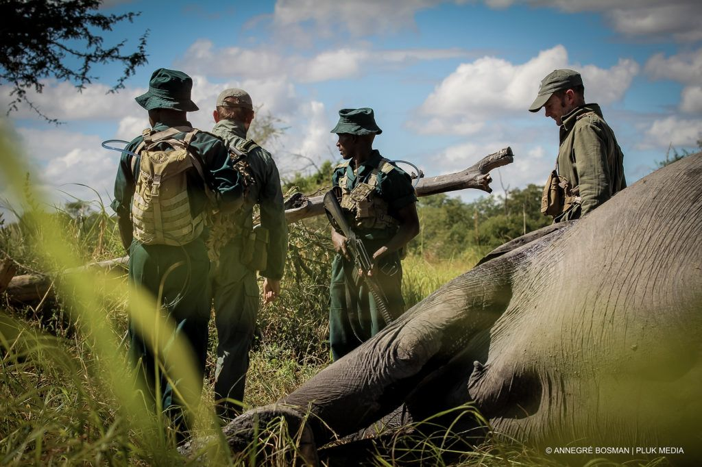 Men tranquilize elephants to relocate them.