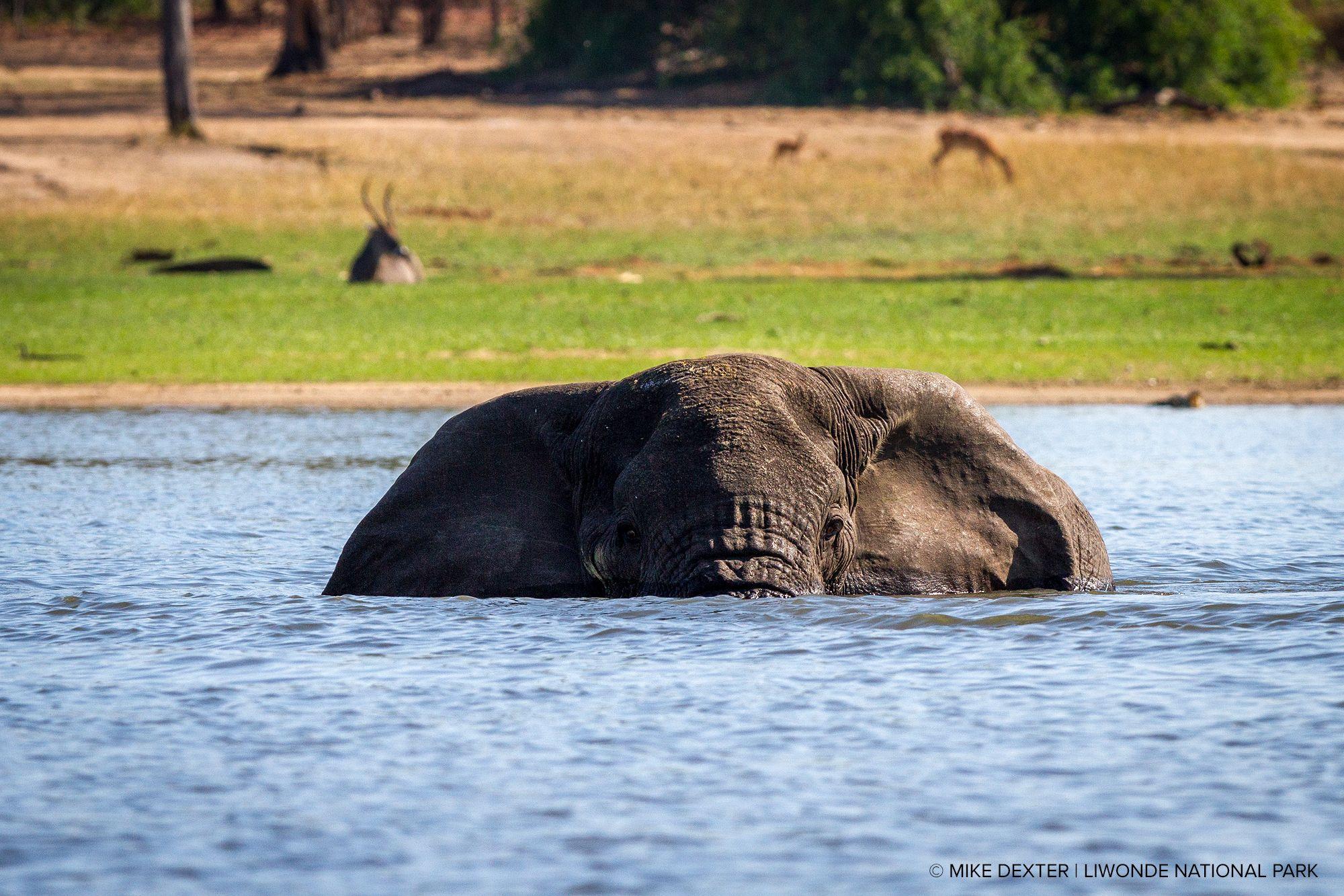 Elephant bathing at a park in Malawi.