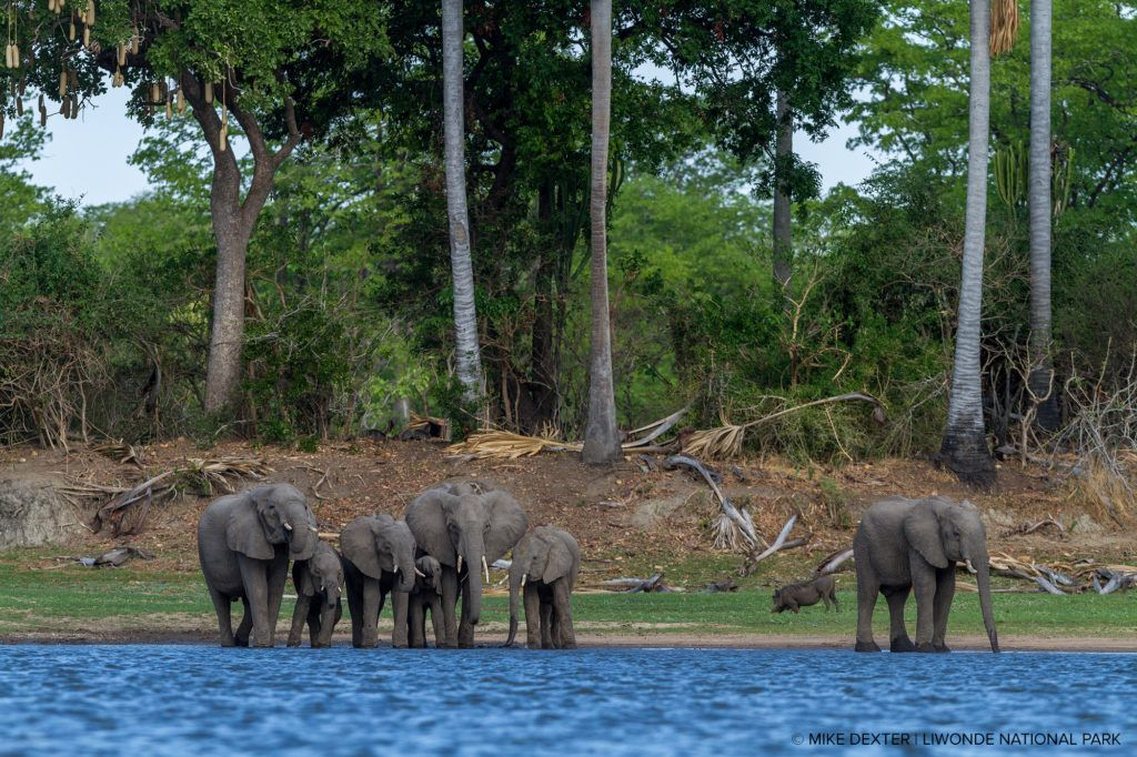Elephants roaming free at Liwonde National Park, Malawi.