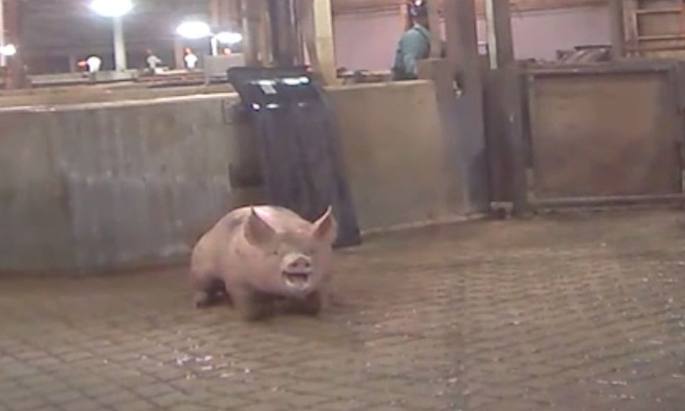 High-Speed Slaughter is Hell for Pigs – You Can Help Stop the Cruelty