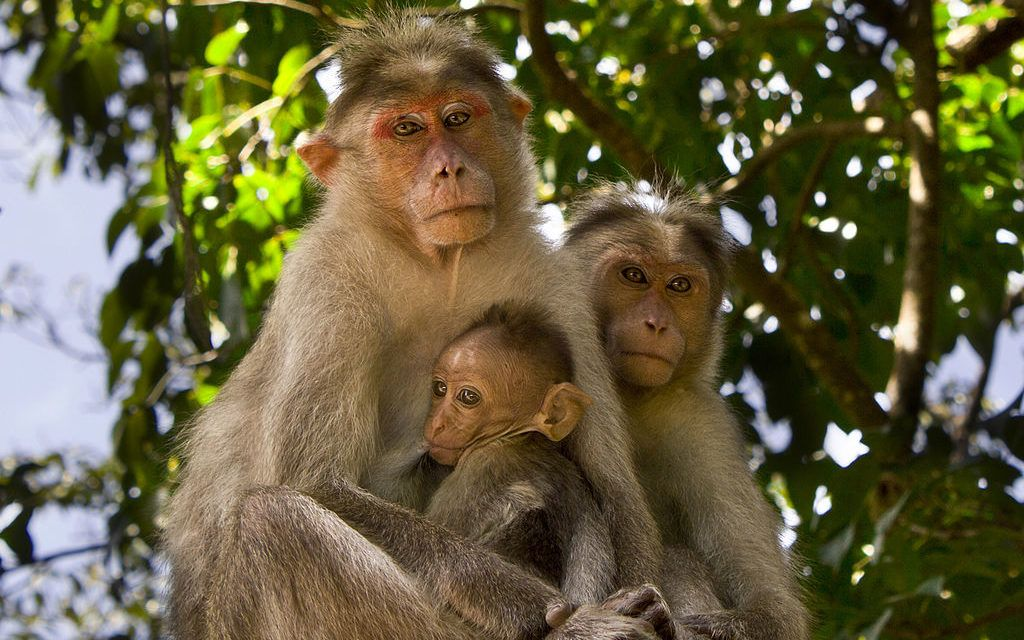 S. India's Common Bonnet Monkey Is About to Become Endangered
