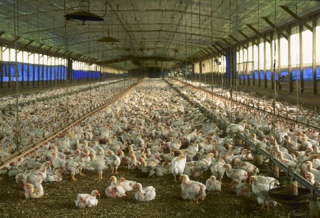 Cage-free chickens in Florida.