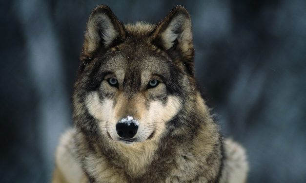 New Hope: Gray Wolves Could Regain Endangered Species Protections