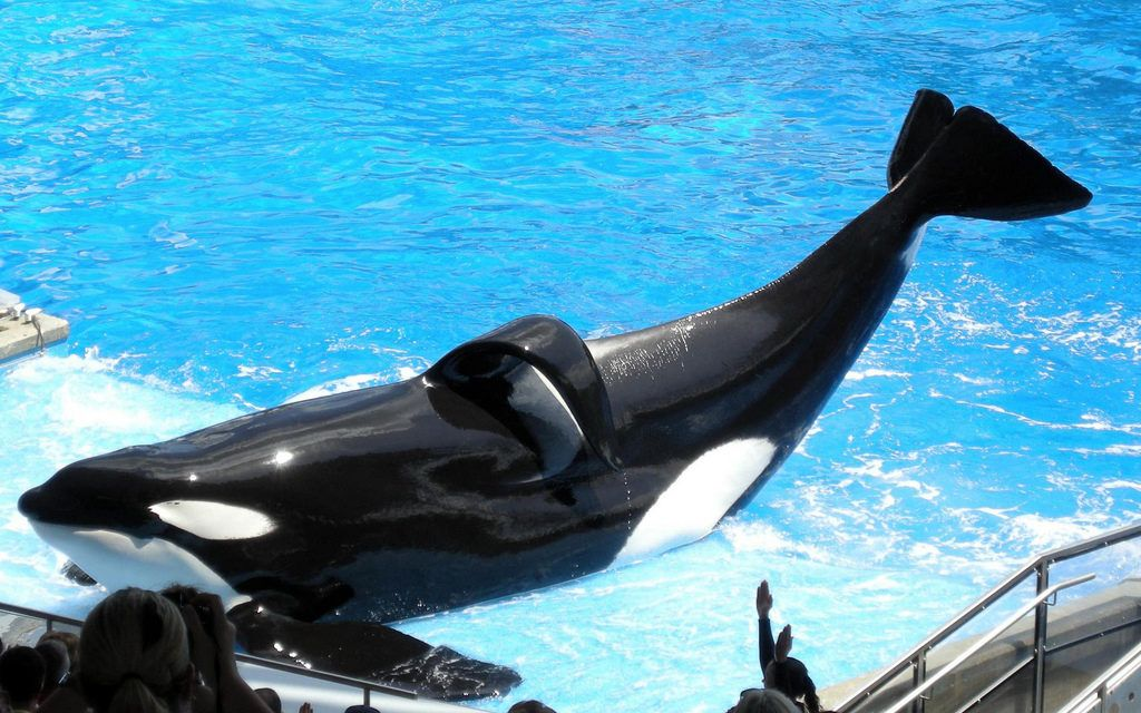 Yet Another Orca, Kasatka, Dies at SeaWorld After Years of Suffering