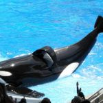 42-Year Old Orca Dies at SeaWorld After Years of Suffering
