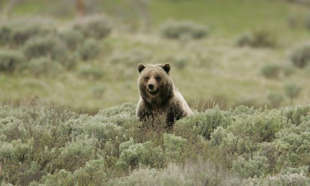 BC is About to Ban Trophy Hunting of Grizzly Bears