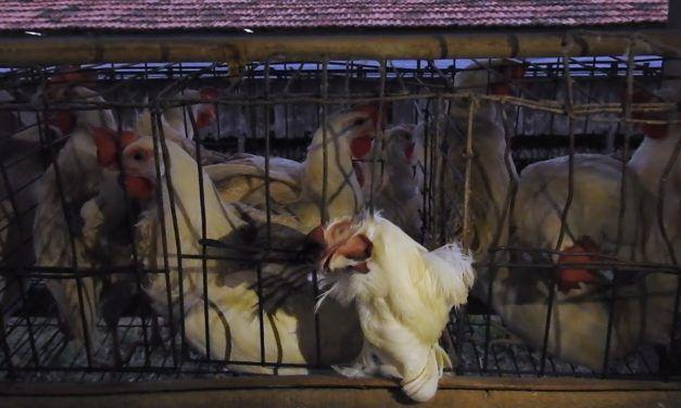 Investigation Reveals Sickening Cruelty to Chickens at Brazilian Walmart Supplier