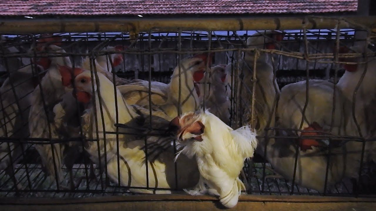 Chickens in cages in Brazil.