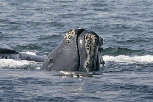 Endangered right Whale emerges off the coast of MA.