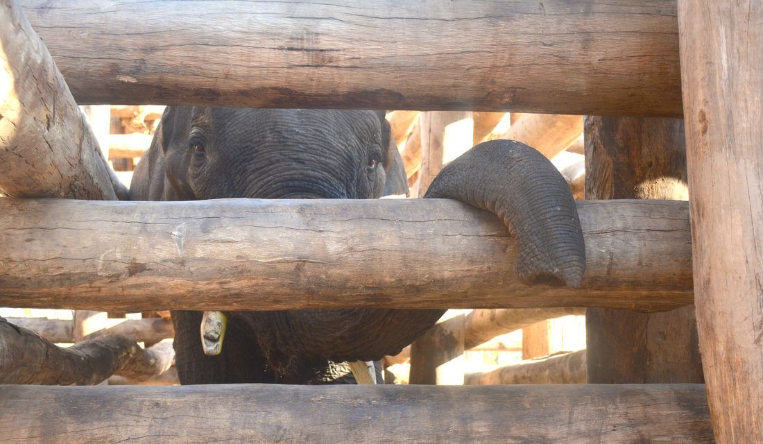 Why Elephants are Being Held Captive for Your Coffee