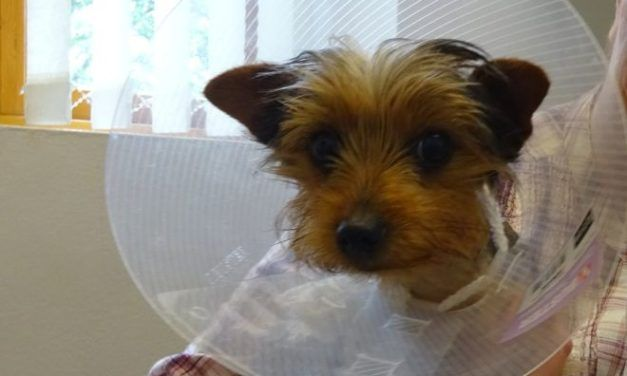 Tiny 5-Pound Yorkie Successfully Undergoes Lifesaving Heart Surgery