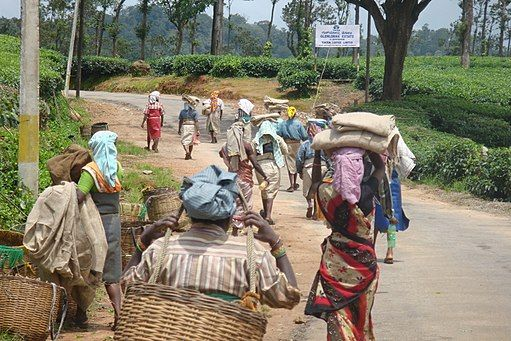 Workers on a coffee estate in India.