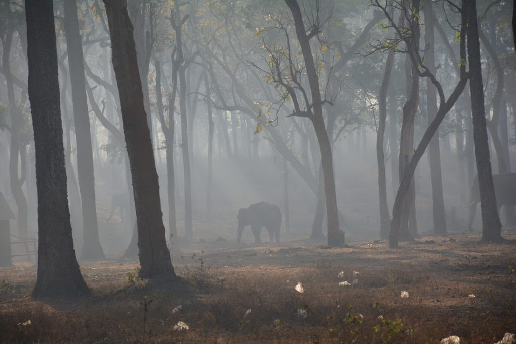 Elephant walks through Indian forest.