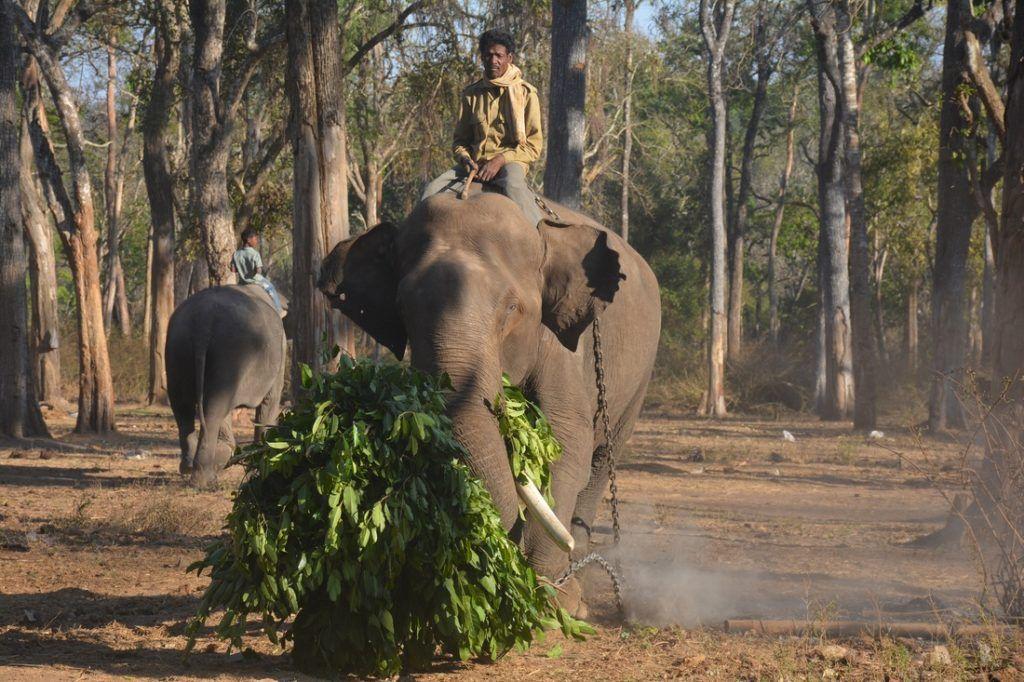A Jenu Kuruba tribesmen tribesman riding a captured Indian elephant.