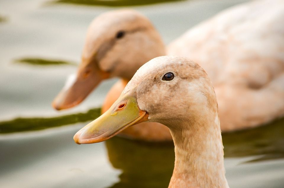 Victory! California Foie Gras Ban to be Reinstated