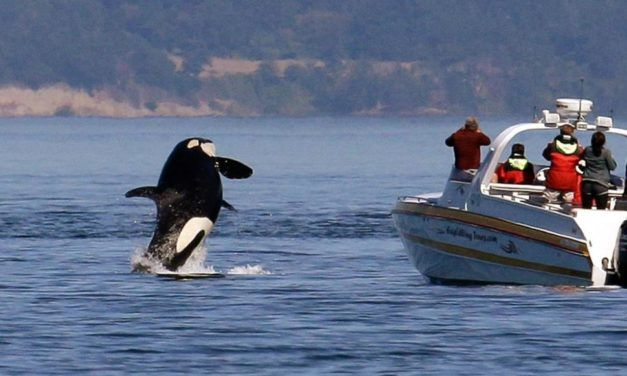 Why Ships are Slowing Down to Save the Puget Sound Orca