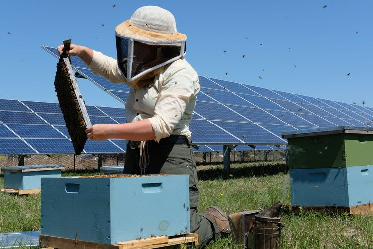 Solar Energy Sites are Doubling as Pollinator Habitats to Save the Bees