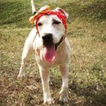 """Dog Ripped to Shreds from Dogfighting Now Named """"American Hero"""""""