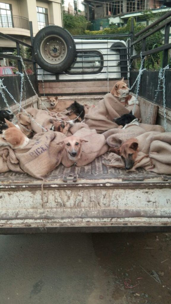 A truck full of dogs that were rescued from the dog meat trade. Get involved in helping protect animals at Lady Freethinker.