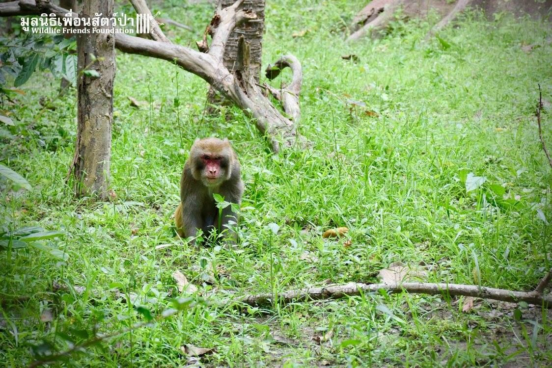 A rescued monkey walks in an enclosure in Thailand. Visit Lady Freethinker and get involved to save animals.