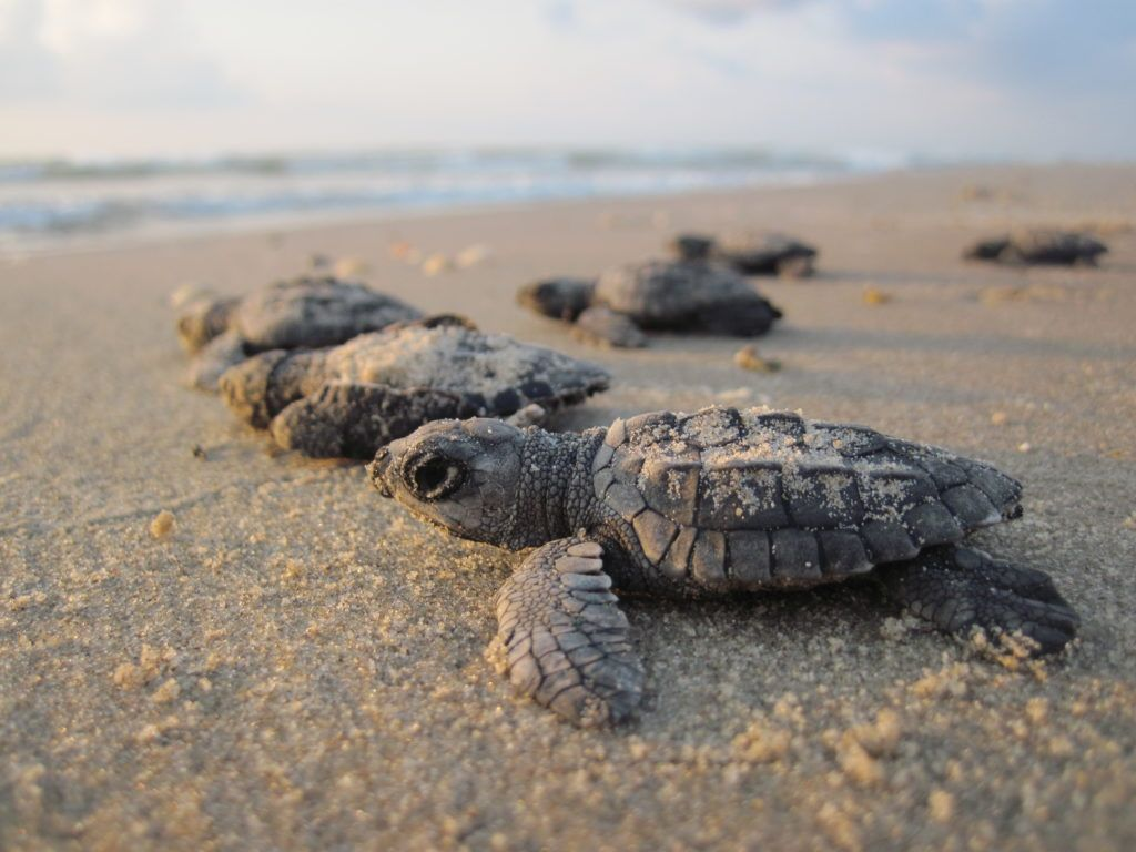 Baby sea turtles enter the Gulf of Mexico.