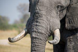 Poachers seek elephant tusks for ivory trade.