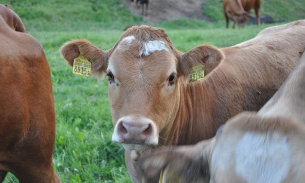 Methane Emissions from Animal Agriculture are 11% Worse Than We Thought