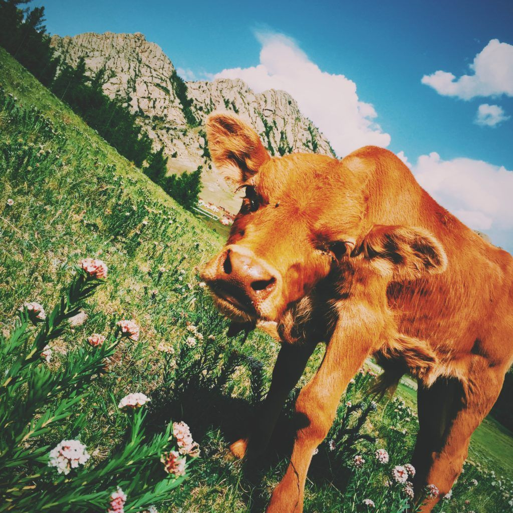 A cow in the mountains. Why do we love some animals and eat others? Get involved in animal welfare at Lady Freethinker.