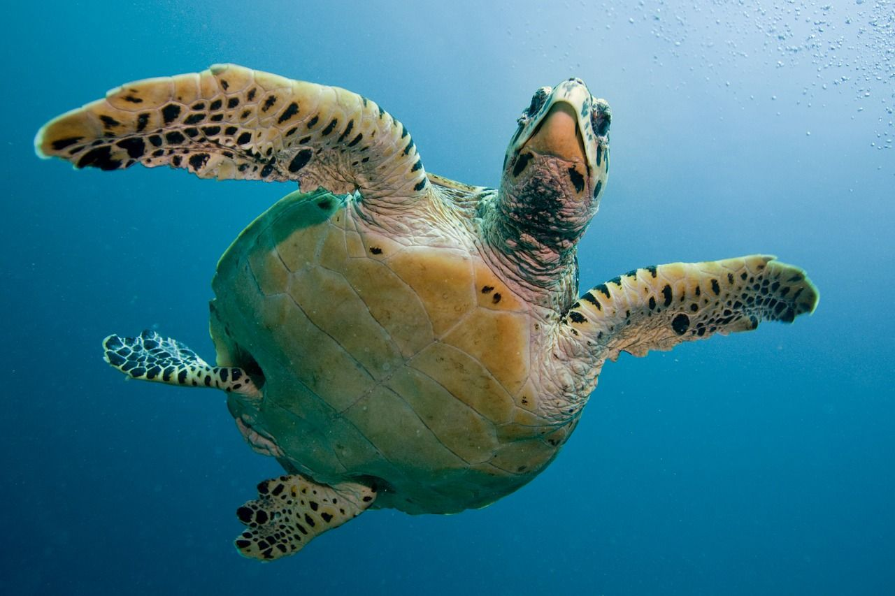 Sea turtle populations increase