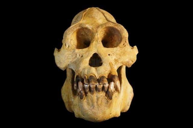 Pongo tapanuliensis or Tapanuli orangutan skull.