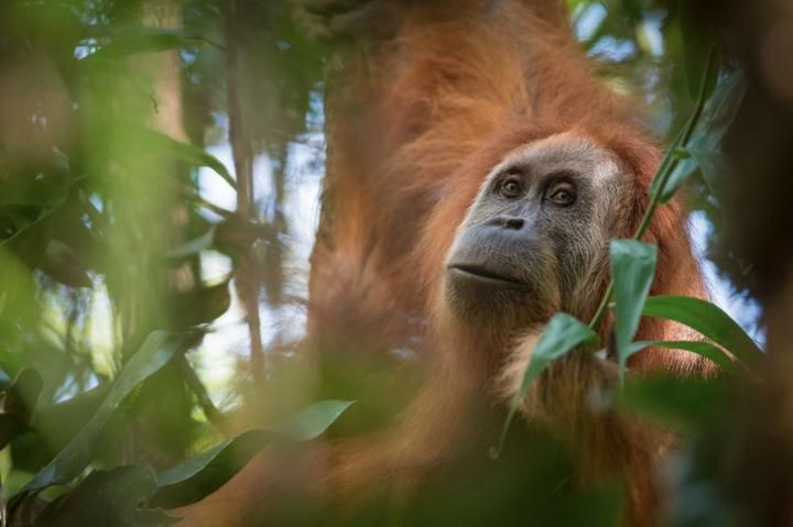 They've Just Discovered a New Orangutan Species, and It's the World's Most Endangered Ape