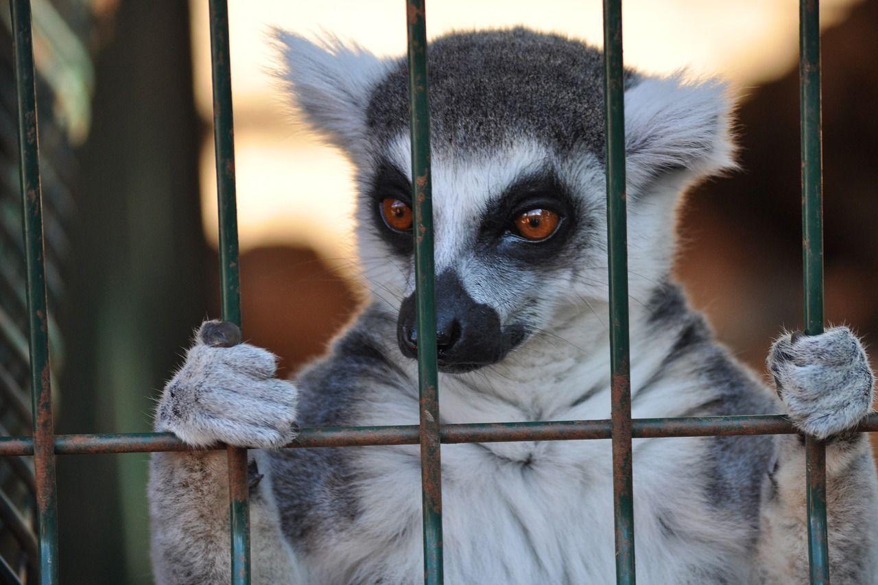 A caged lemur peers through the bars