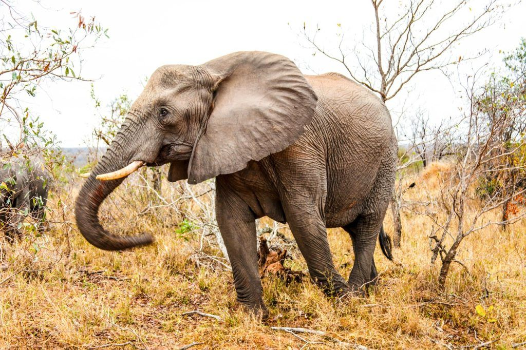 African Elephant walking through grass