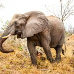 No, Trophy Hunting Does Not Help Save Endangered Species