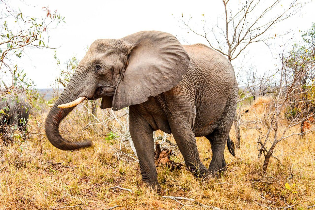 African Elephant walking through grass