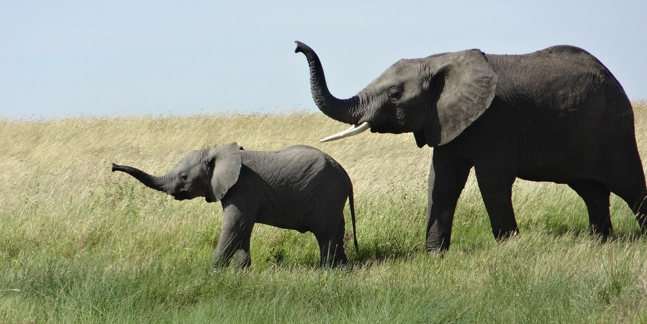 Progress: Elephant Poaching is Down for the 5th Year in a Row