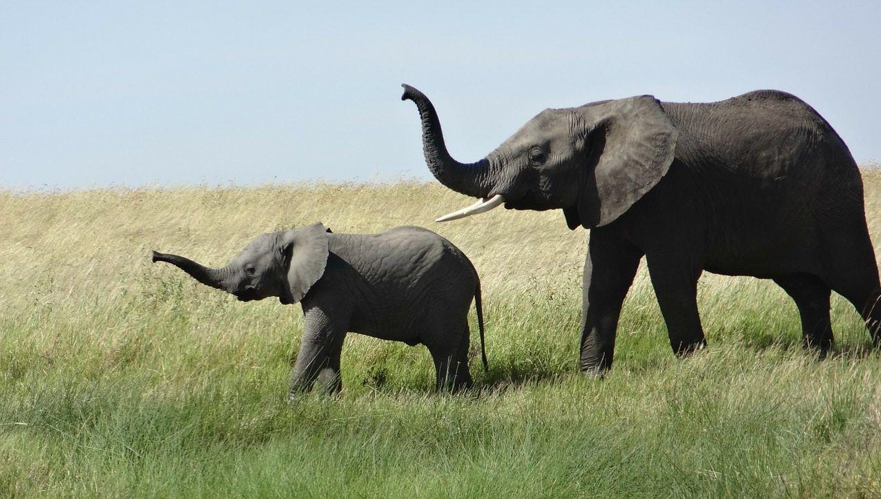 Family of elephants walking.