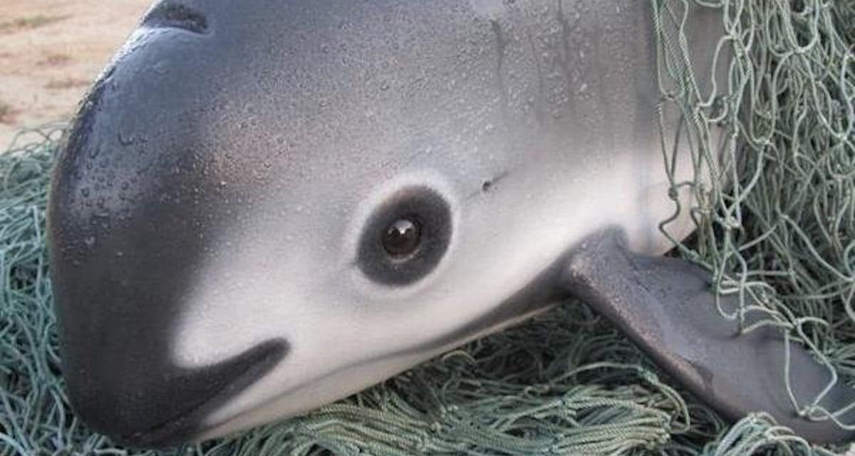 With Only 23 Vaquitas Left, The Race is on to Save The World's Smallest Porpoise