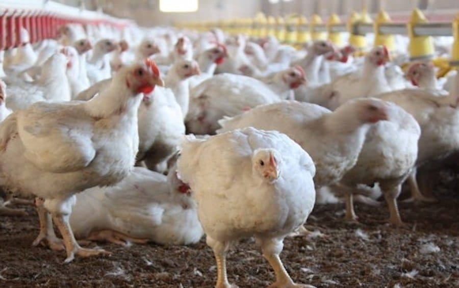 Sign: Stop 'High-Speed Slaughter' that Will Boil Chickens Alive