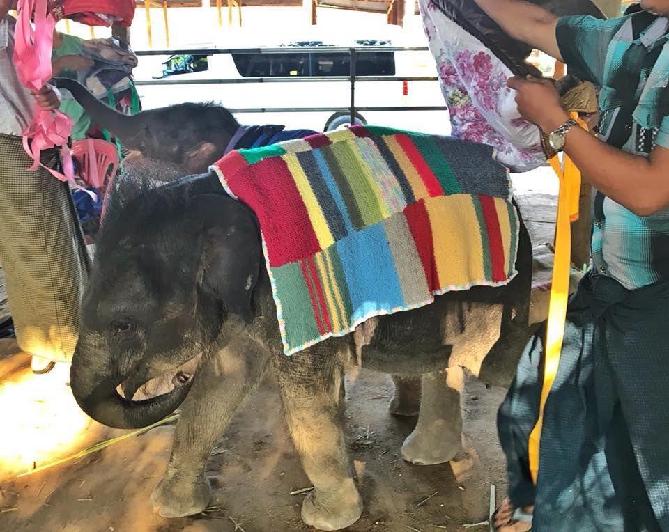 Man getting baby elephant ready.