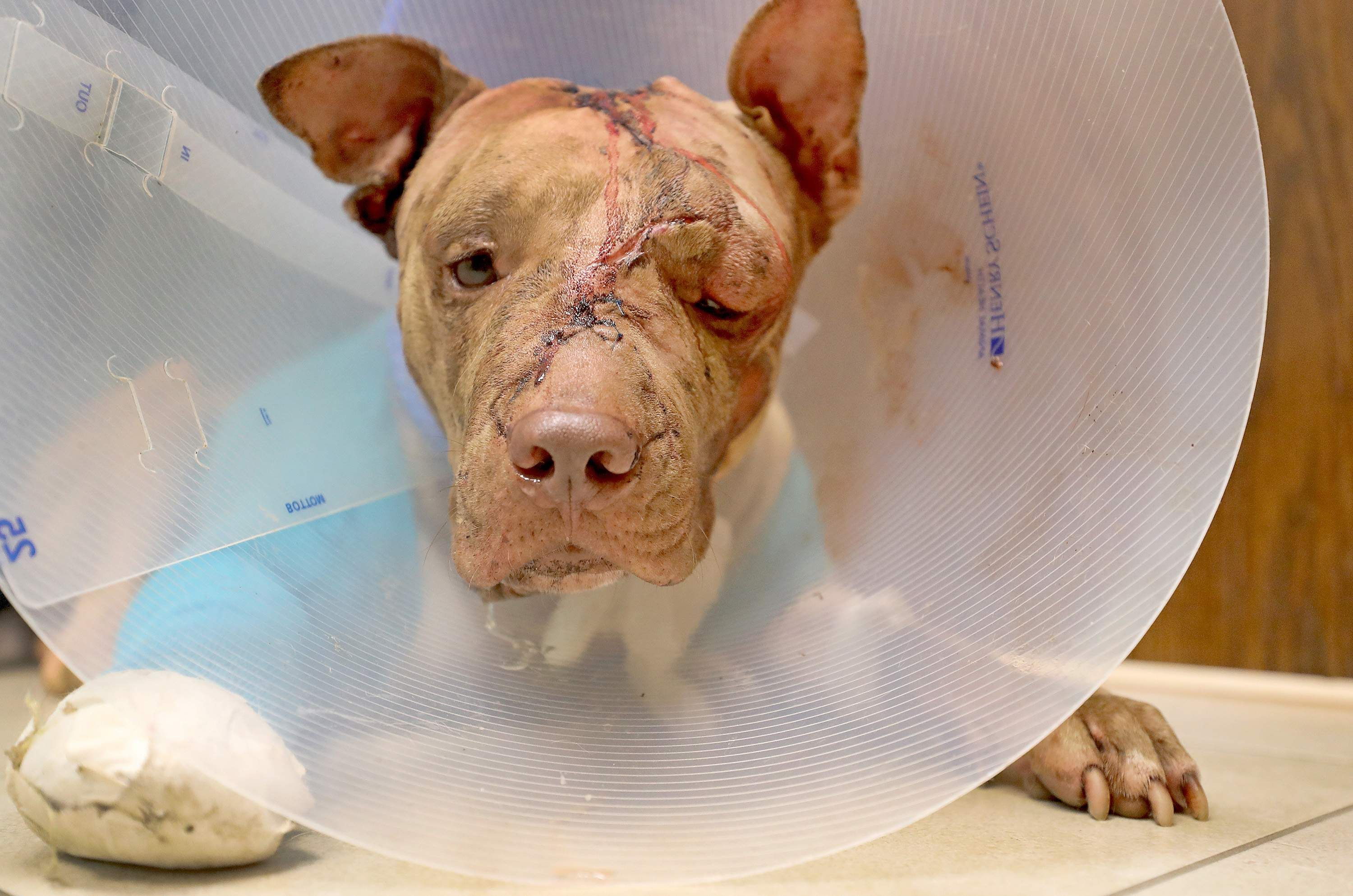 A brutally abused dog receives medical treatment. Learn how you can help protect animals at Lady Freethinker.