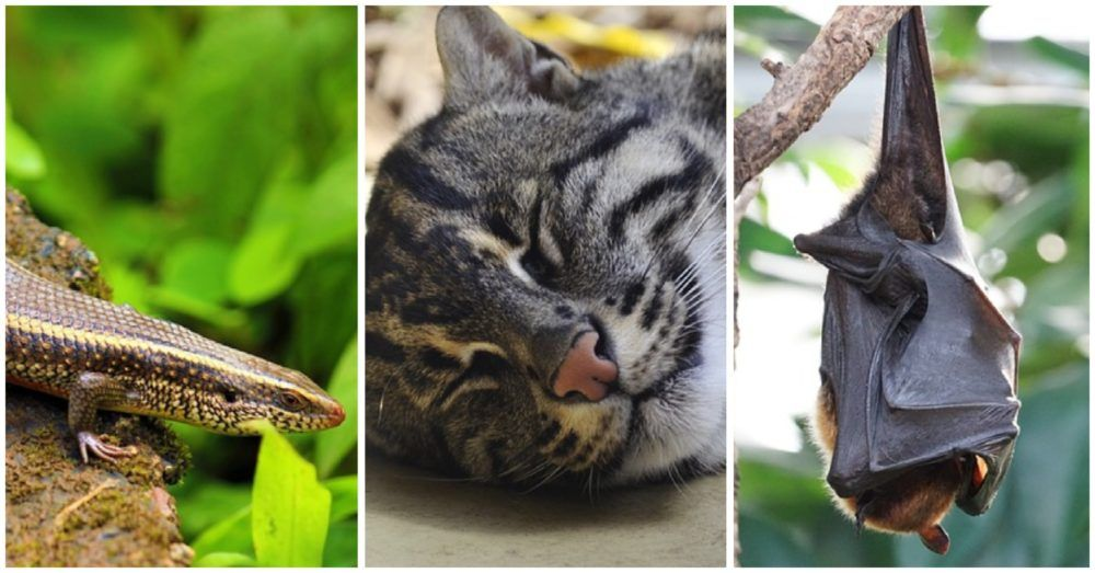 Collage of a skink, fishing cat, and bat, representing three of the species that went extinct in 2017