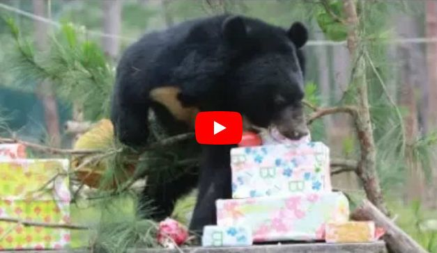VIDEO: Bears Rescued from Cruel Bile Farms Love Opening Their Christmas Presents