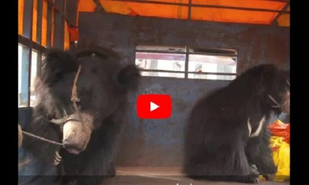 VIDEO: The Last Known 'Dancing Bears' of Nepal Have Just Been Rescued