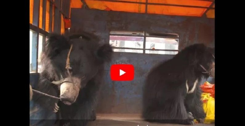 VIDEO: The Last Known 'Dancing Bears' of Nepal Rescued