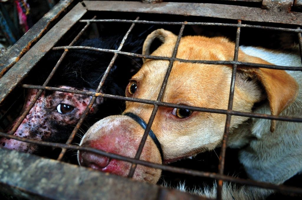dog in cage, dog meat