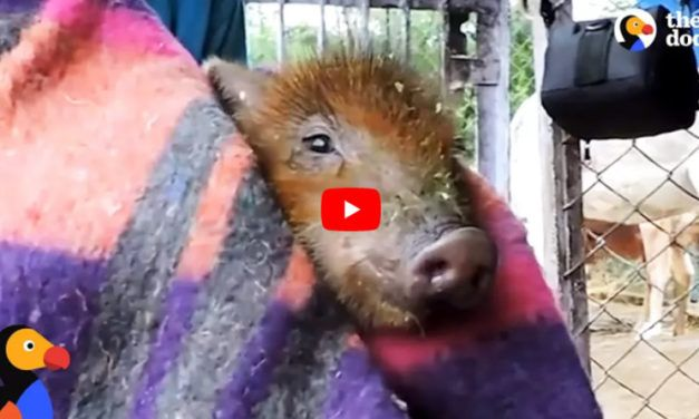 VIDEO: Drowning Piglet Saved After Falling into Deep Well